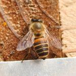 ミツバチの巣から初めての採蜜!