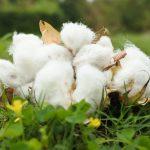 棉の種取り機で種を取る~種に対して想うこと~